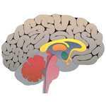 Gehirn Grafik